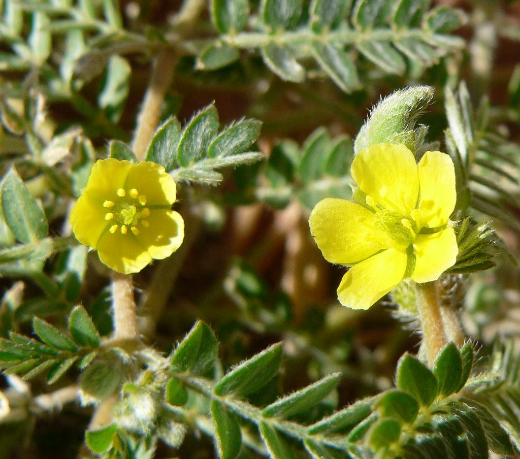 Tribulus terrestris testosterone