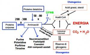 assorbimento proteine in polvere