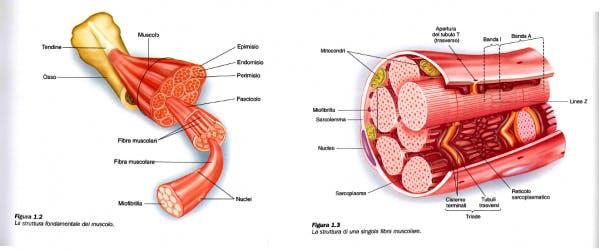 sarcoplasma muscoli