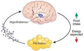 perdere-grasso-leptina