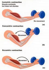 La contrazione eccentrica è quella che produce il maggior danno muscolare