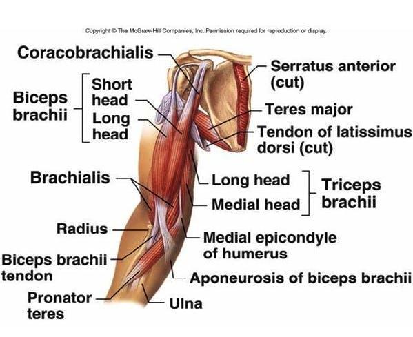 anatomia del bicipite
